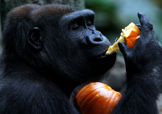 Enjoy your day - gorilla and pumpkin