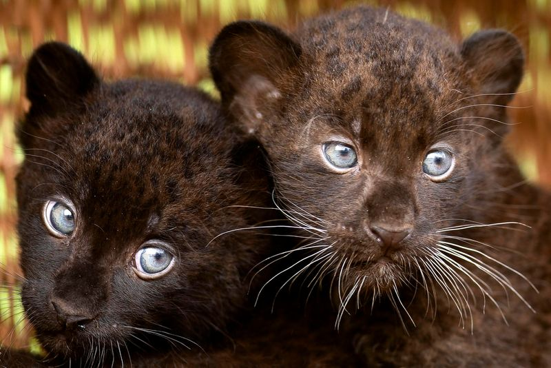 Germany Black Panther Cubs