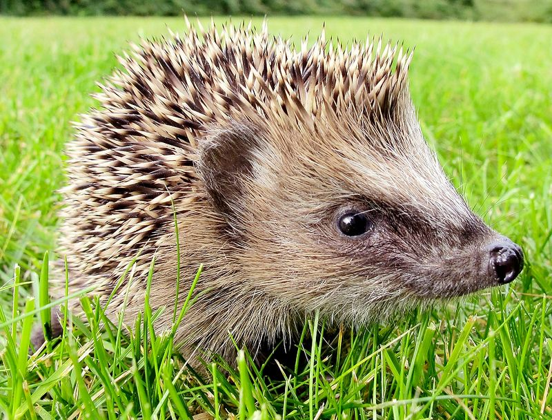 Germany Hedgehog