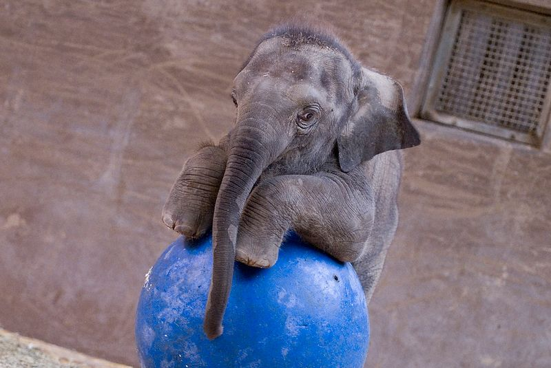 Elephant Calf (Beco) #14 - G. Jones, Columbus Zoo and Aquarium