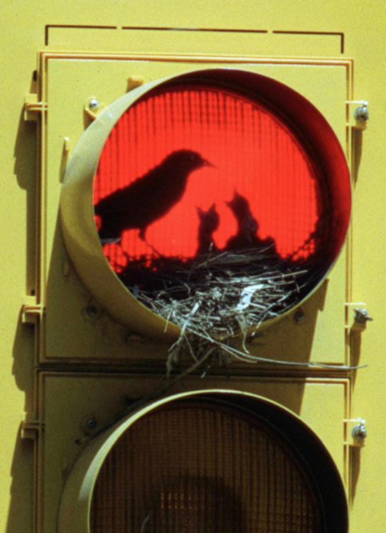 RED-LIGHT-BIRD