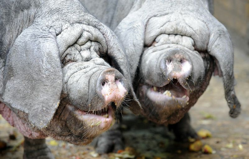 GERMANY-ANIMALS-ZOO-PIGS