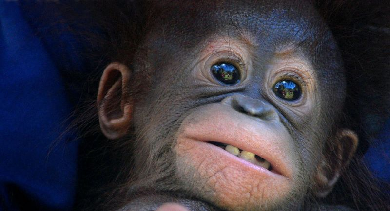 TOPSHOTS-INDONESIA-SPECIES-ENDANGERED-ANIMAL-ORANGUTAN