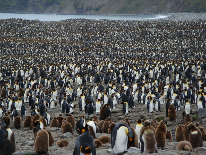 FR 4 KIng penguin colony, 500,000 strong, St. Andrew's Bay, Antarctica, Frances Renaud