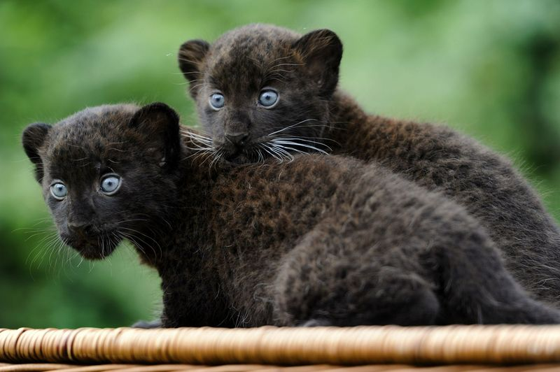 GERMANY-ANIMALS-TWIN PANTHERS