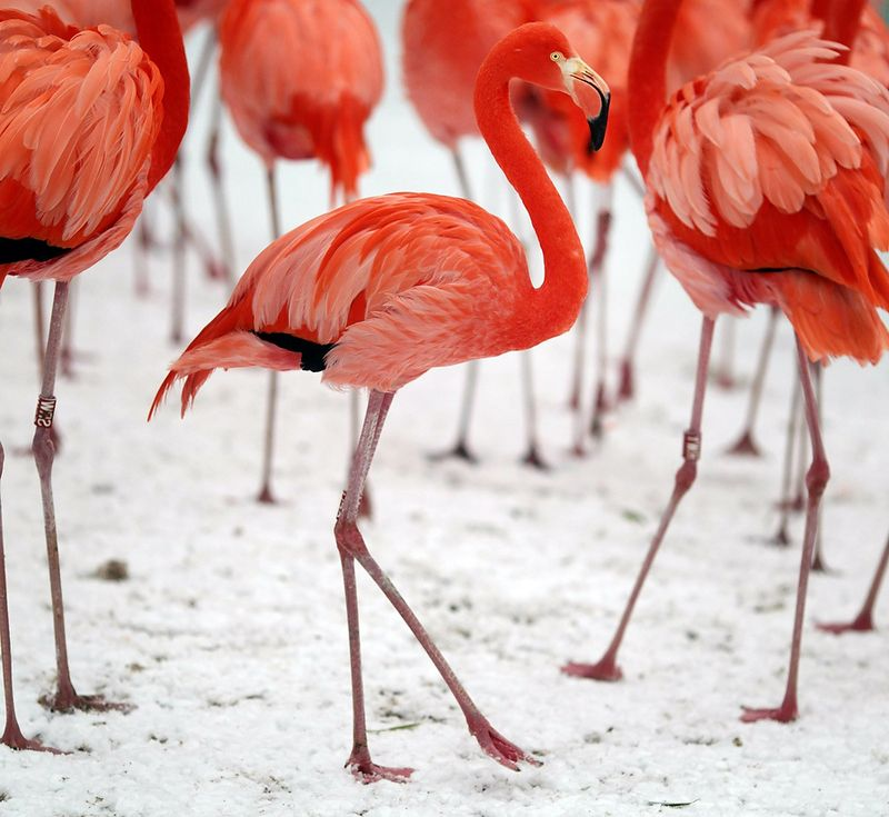 GERMANY-ANIMALS-FLAMINGOS-SNOW