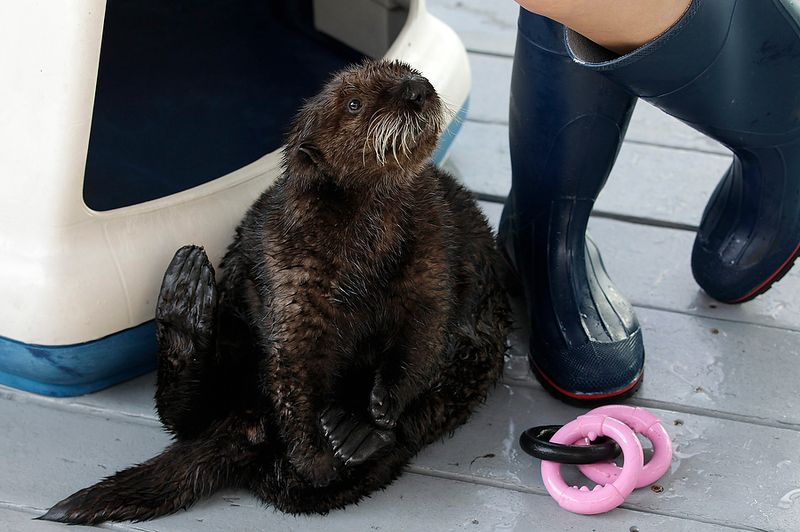 Rescued Otter