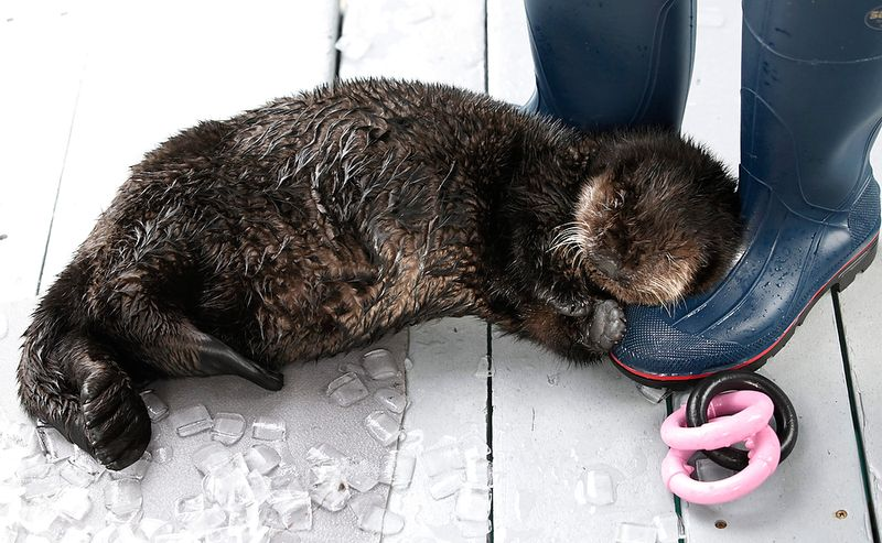 APTOPIX Rescued Otter