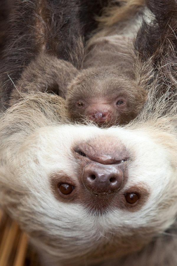 Sloth_newborn_Lincoln_Park_Zoo