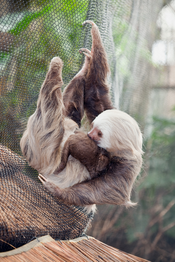 Sloth newborn 3 by John Kortas Feb. 24