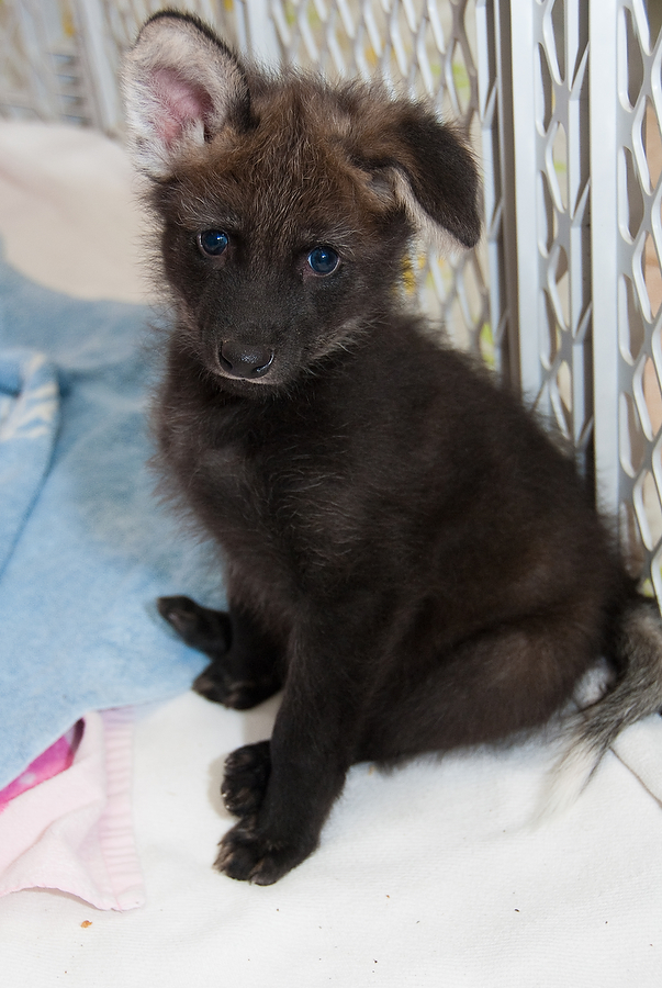 HZI Maned Wolf Pups-6