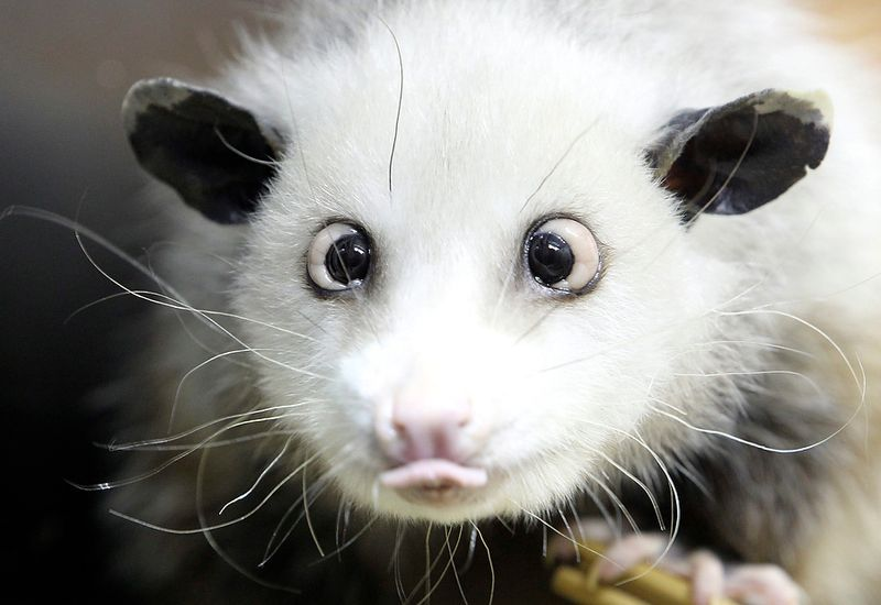 APTOPIX Germany Cross Eyed Opossum