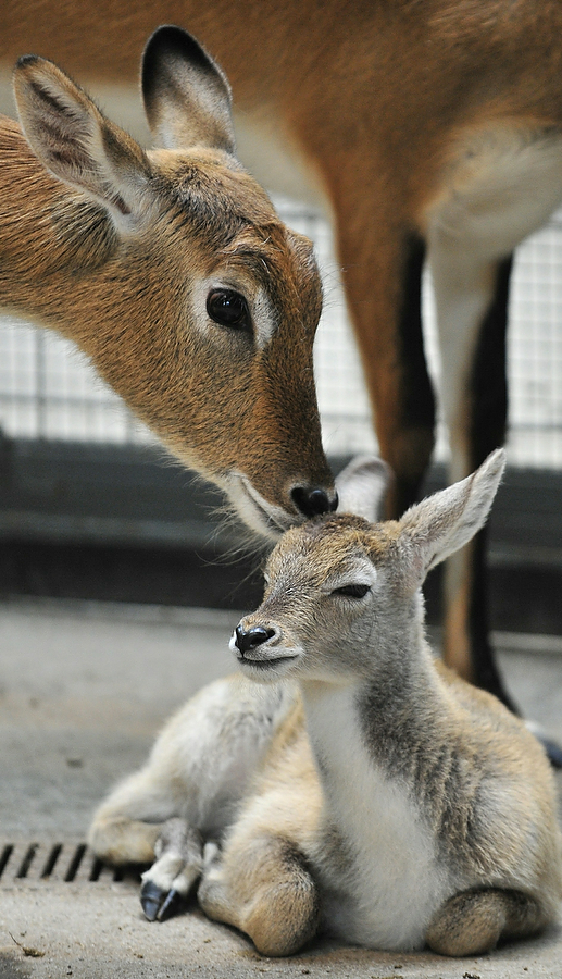 GERMANY-ANIMALS-ZOO-WATERBUCK