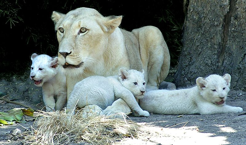 ARGENTINA-ANIMALS-WHITE LION