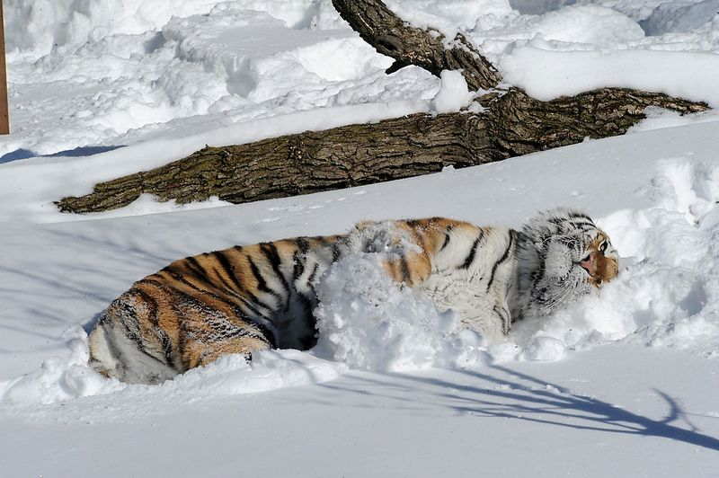 Snow Tiger TOPIX