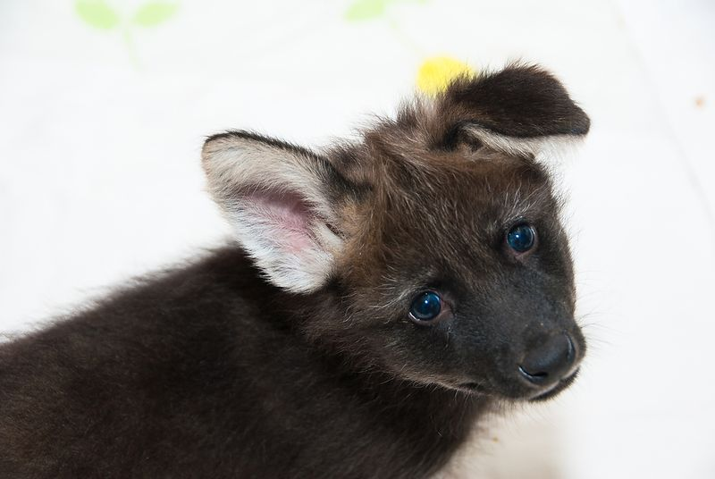 HZI Maned Wolf Pups-1