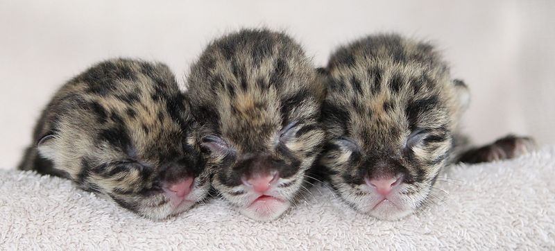 Clouded Leopard Cubs TOPIX