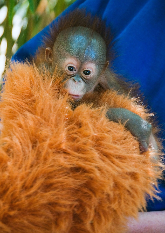 Zoo Rejected Orangutan