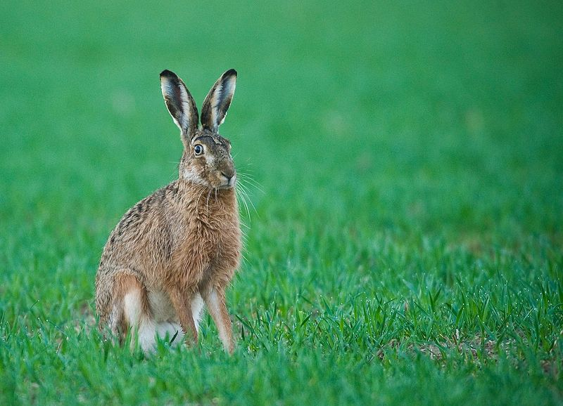 TOPSHOTS-GERMANY-ANIMALS-HARE