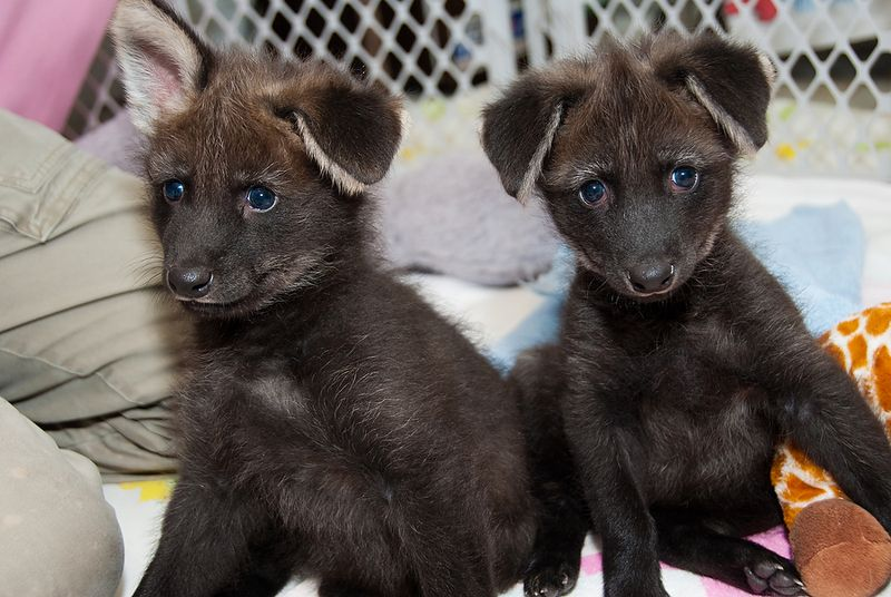 HZI Maned Wolf Pups-7