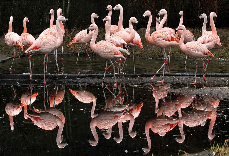 GERMANY-ANIMALS-FLAMINGOS