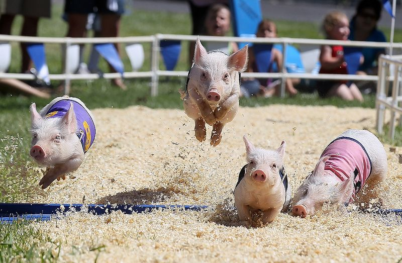 LOOKIT THESE PIGLETS FLY!