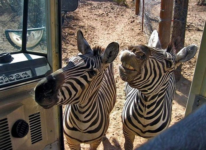 Zebra and land rover