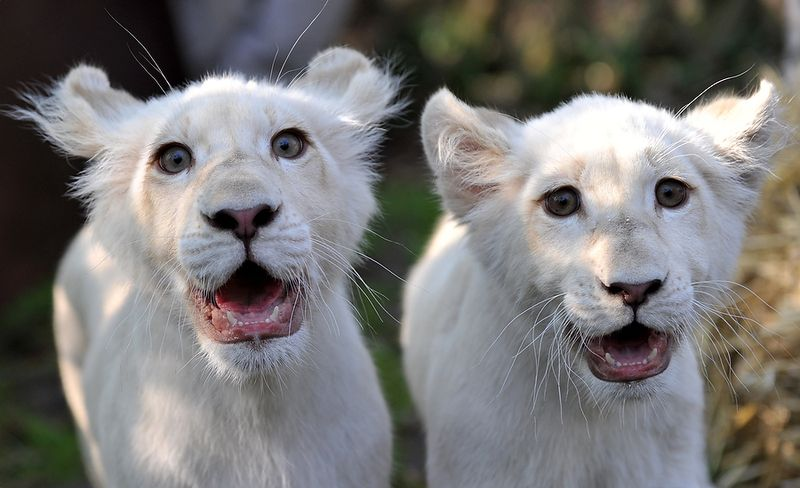 GERMANY-ANIMALS-WHITE LIONS