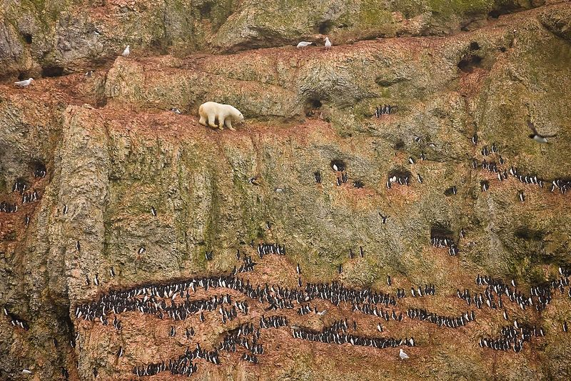 Cliff-Climbing Polar Bear Attempting to Eat Seabird Eggs
