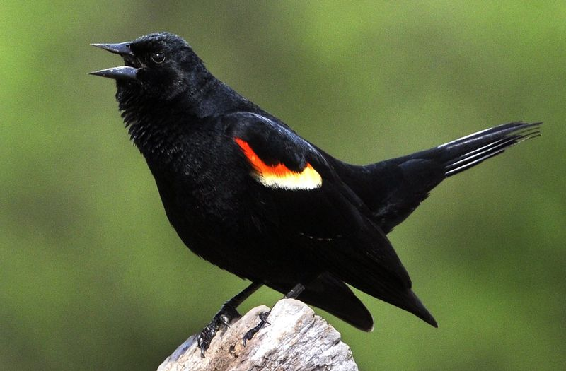 03 Red winged blackbird