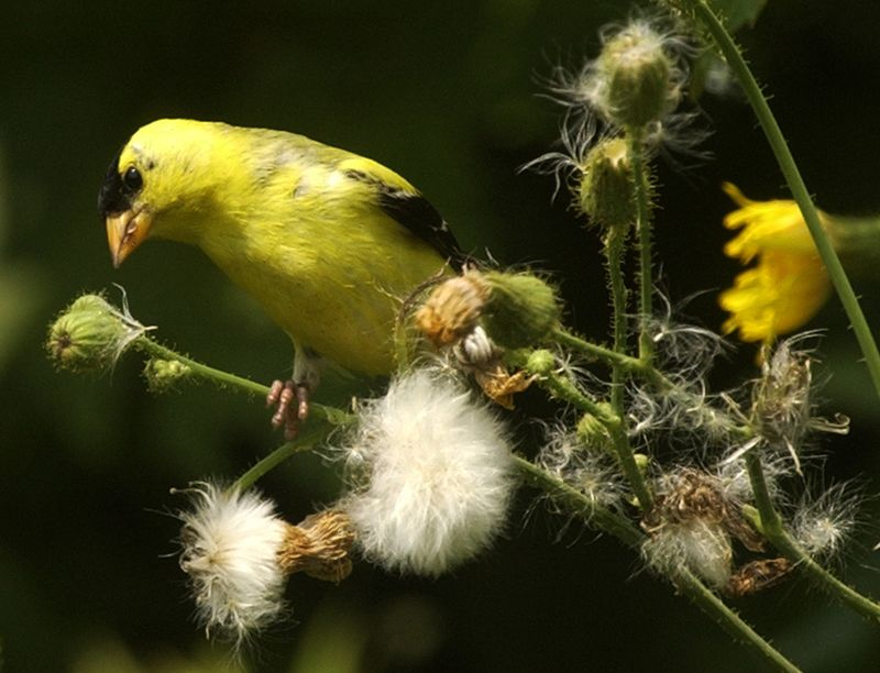04 American goldfinch