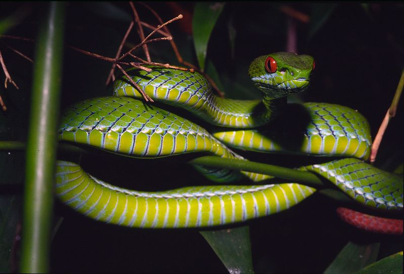 Trimeresurus_rubeus__vietnam_and_cambodia__4__peter_paul_van_dijk_darwin_initiative